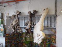 """Des fœtus de lama en vente au """"marché des sorcières"""", à enterrer sous sa maison pour se porter bonheur"""