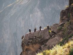 Les condors sont présents, mais ils ont du mal à s'envoler ! Mirador Cruz del Cóndor, canyon de colca