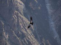 L'envol des condors, vus depuis le Mirador Cruz del Cóndor
