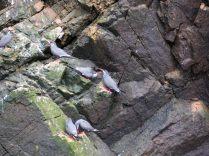 Groupe de Sterne inca (Larosterna inca), Îles Ballestas