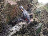 Cormoran de Gaimard (Phalacrocorax gaimardi)