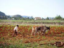Un paysan laboure son champ, Vinales
