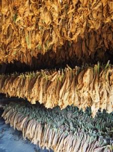 A l'intérieur d'un séchoir à tabac, Vinales