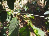 Branche de cafeier
