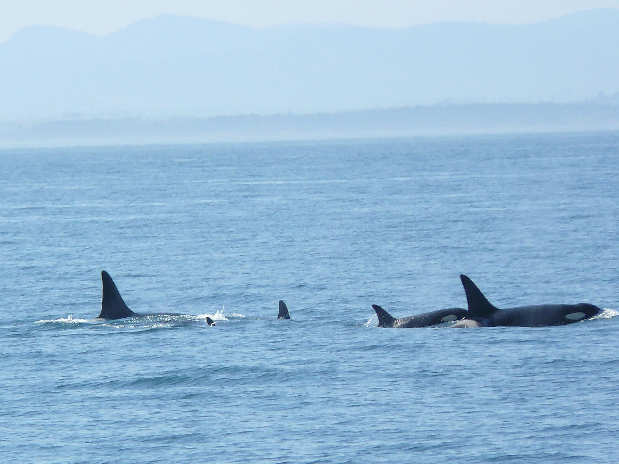 2009 June 26 Orcas & Minkes 013