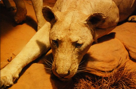 Man-eating lions of Tsavo close-up