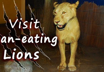 Man Eating Lion Mfuwe