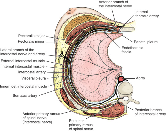Anatomy Of The Breast Axilla Chest Wall And Related Metastatic