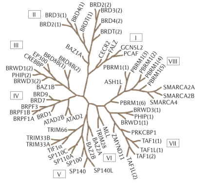 Figure 1. Structure-based phylogeny of the human bromodomain family. 61 structurally distinct bromodomain modules are present in 46 unique proteins. Figure adapted from Nat Rev Drug Discov 13(5): 337-356.