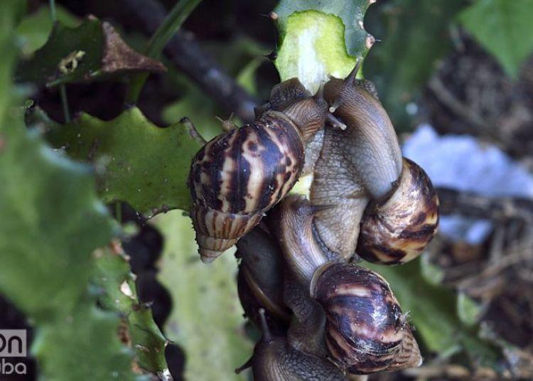 The Giant African Snail has spread throughout Cuba like a plague. Photo: Otmaro Rodríguez / Archive.