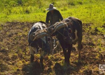 In this archive image, a farmer uses oxen to plow the land in Cuba. Photo: Otmaro Rodríguez.