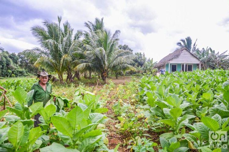 Tobacco plantation in Viñales, Pinar del Río. Photo: Kaloian / Archive.
