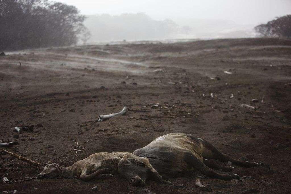 """Vacas muertas en una zona donde se ve vapor alzándose de la ceniza volcánica caliente tras una lluvia ligera, cerca del Volcán de Fuego, o """"Volcán de Fuego"""" en la población de El Rodeo, en Escuintla, Guatemala. Foto: Rodrigo Abd / AP."""