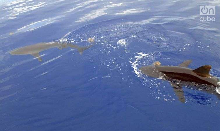 tiburones-14