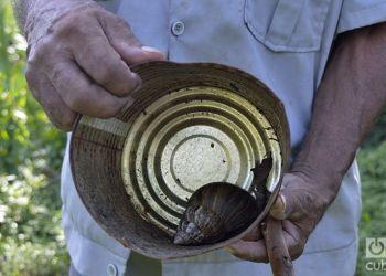 El caracol gigante africano se ha expandido por toda Cuba en pocos años. Foto: Otmaro Rodríguez / Archivo.