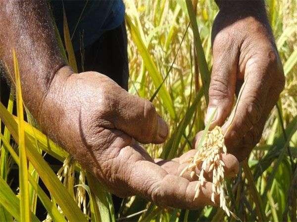 Cultivos de arroz en Aguada de Pasajeros. Foto: Alexis Pire Rojas / Cubahora.