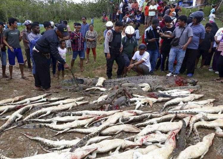 Cadáveres de los cocodrilos que mataron aldeanos en Sorong, Papúa Occidental, Indonesia. Foto: AP.