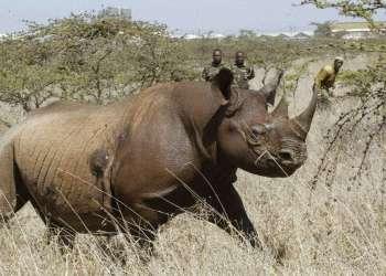 Un rinoceronte negro hembra en el Parque Nacional Nairobi, en 2006. Varios ejemplares de esta especie en peligro crítico de extinción murieron cuando se intentaba trasladarlos cientos de kilómetros a un parque nacional en Kenia. Foto: Sayyid Abdul Azim / AP.