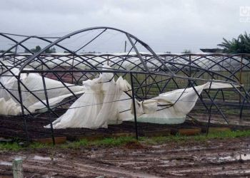 Daños de Michael a los cultivos de tabaco en Pinar del Río. Foto: Raúl Gómez.