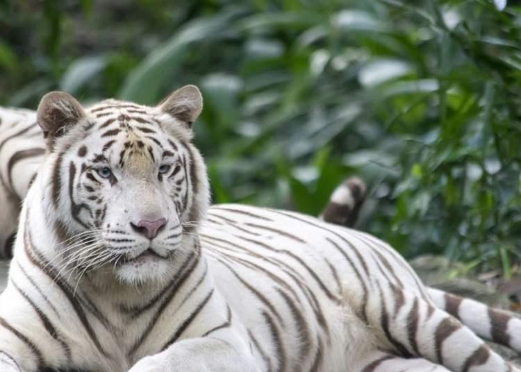 El Tigre Blanco de Bengala se halla entre las especies que llegarán en 2019 al Zoológico Nacional de Cuba. Foto: tiendatigres.com
