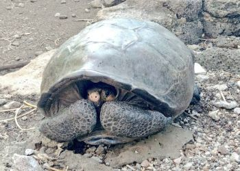 Tortuga de la especie Chelonoidis phantasticus, que se creía extinta, encontrada en la isla Fernandina del archipiélago de Galápagos. Foto: @Marcelo_MataG / Twitter.