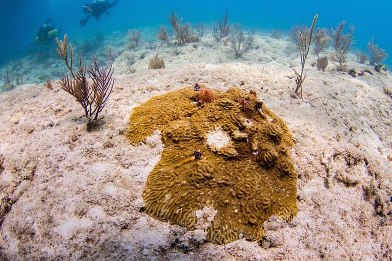 """Los arrecifes de coral de Florida están en peligro de desaparecer en un """"futuro cercano"""" si no se gana la batalla a una enfermedad que los está matando y que, según los científicos, puede haberse ya extendido a otras zonas del Caribe. EFE/Conor Goulding/Mote Marine Laboratory."""