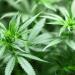Imagen: Pixabay. Tomada de cannabismedicinal.com