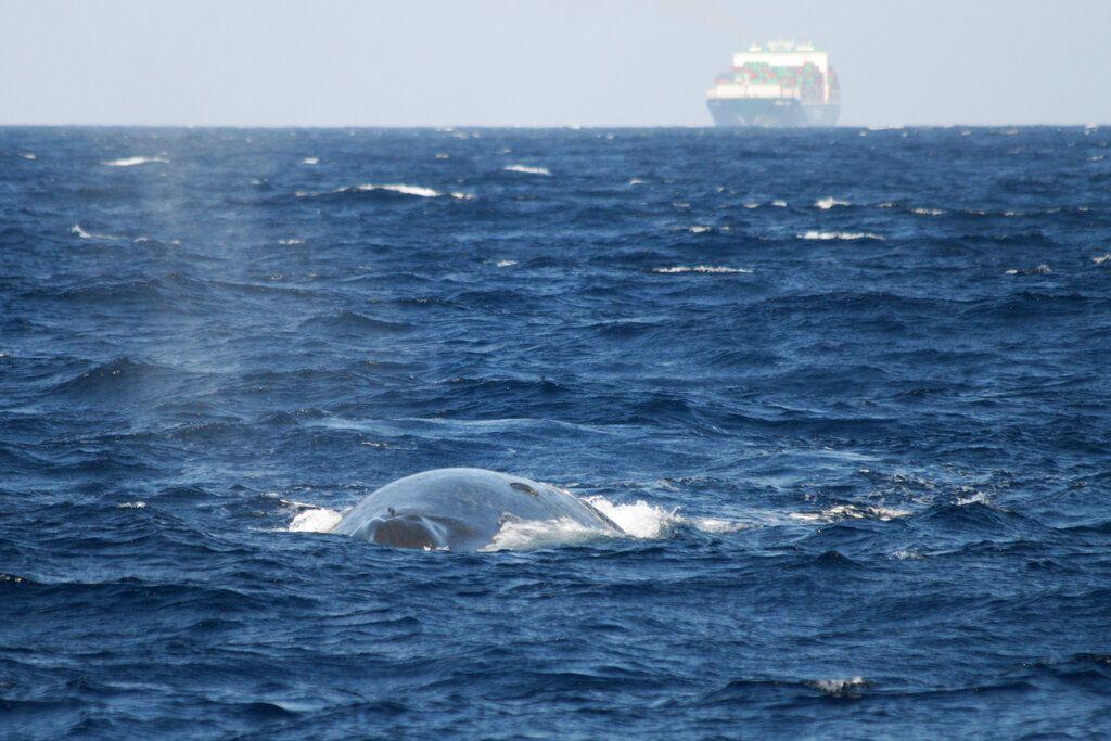 Imagen proporcionada por el Fondo Internacional para el Bienestar Animal muestra a una ballena azul nadando en Sri Lanka mientras un buque de cargo aparece al fondo. Foto: Tim Lewis / Fondo Internacional para el Bienestar Animal vía AP / Archivo.