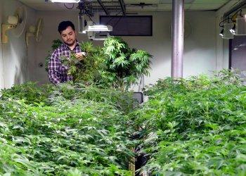 Un trabajador con plantas de marihuana en el taller cerca del centro de Denver, Colorado. Foto: Thomas Peipert / AP / Archivo.