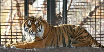 Sanjiv, el tigre de Sumatra del Zoológico de Topeka en Kansas. Foto: tucson.com