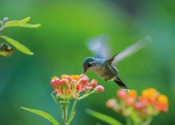 Ver volar a un colibrí es un verdadero espectáculo visual. Foto: Tomada de México Desconocido