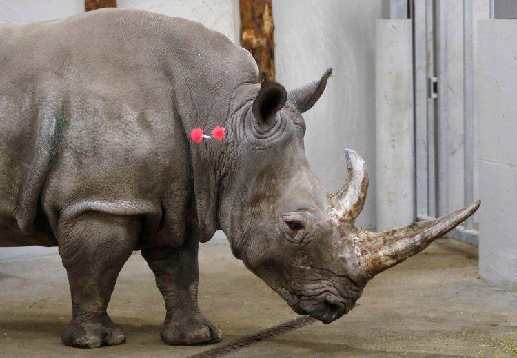 Esta foto de archivo del miércoles 13 de febrero del 2019 muestra una rinoceronte blanca del sur hembra, Hope, de 17 años, con dardos de tranquilizantes en el cuello para que un equipo de expertos pueda extraerle óvulos, en el zoológico de Chorzow, en Polonia. (AP Foto/Petr David Josek, Archivo)