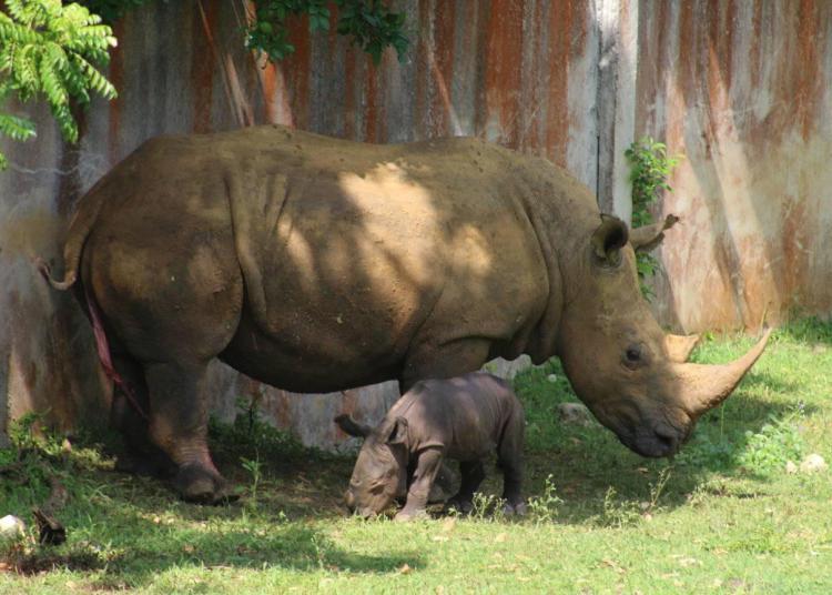 La nueva cría de rinoceronte blanco del Zoológico Nacional de Cuba y su madre. Foto: Parque Zoológico Nacional / Facebook.