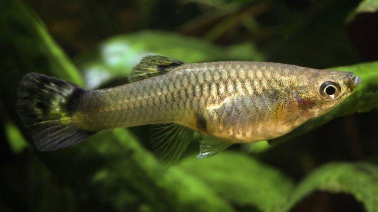 Guppy (Poecilia reticulata). Foto: sciencemag.org