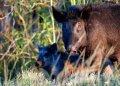 En esta imagen, tomada el 25 de octubre de 2019, cerdos salvajes cerca de LaBelle, Florida. Foto: AP/Robert F. Bukaty