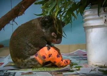 El koala Lewis, rescatado por una mujer, fue tratado durante días en la clínica por las quemaduras causadas por las llamas, pero no sobrevivió. Foto: Hospital de Koalas en Port Macquarie.