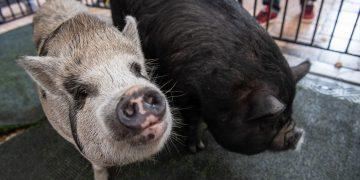 Peppa y Petra, dos lechonas salvadas durante la ceremonia de perdón porcino en Miami, el 16 de diciembre. Foto: @MayorGimenez/Twitter