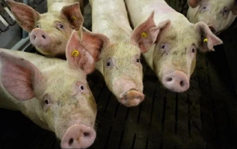 primer-brote-peste-porcina