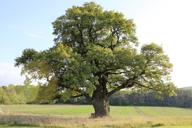 oak-2332869_960_720.jpg