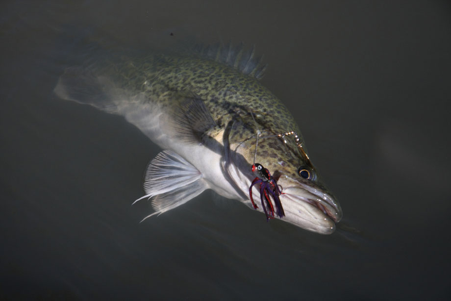 Murray Cod Caught On Lure At Night