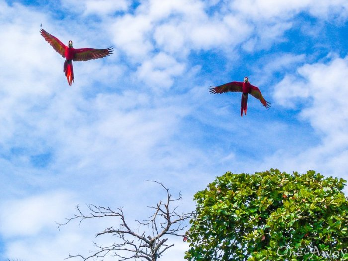 Macaws Flying over Playa Esterillos Oeste-Costa Rica