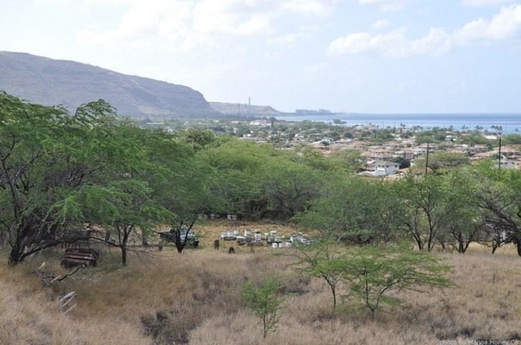 キアヴェが育つのに良い自然環境、海風が吹く乾燥した土壌のハワイ・オアフ島ダイアモンドヘッド付近にて定置養蜂