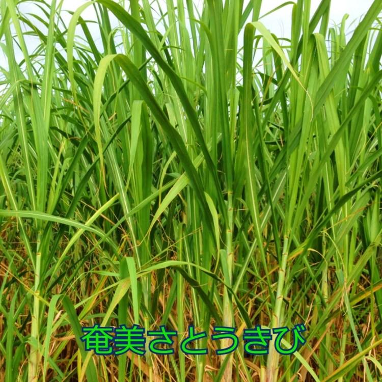 奄美の蜂蜜 さとうきび畑 奄美大島