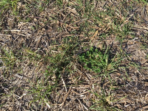 grass growth april 2017 hay no topsoil