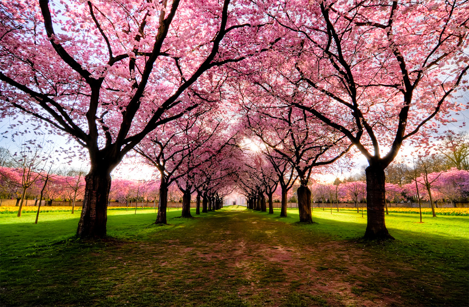 cherry trees path, germany