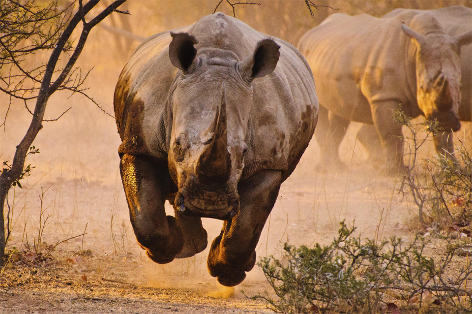 frightening and beautiful charging rhino