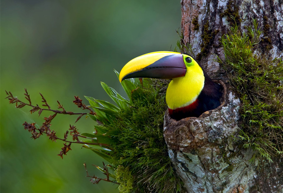 majestic bird, chestnut mandibled toucan