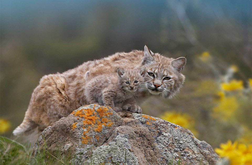 mother lynx with a cub baby