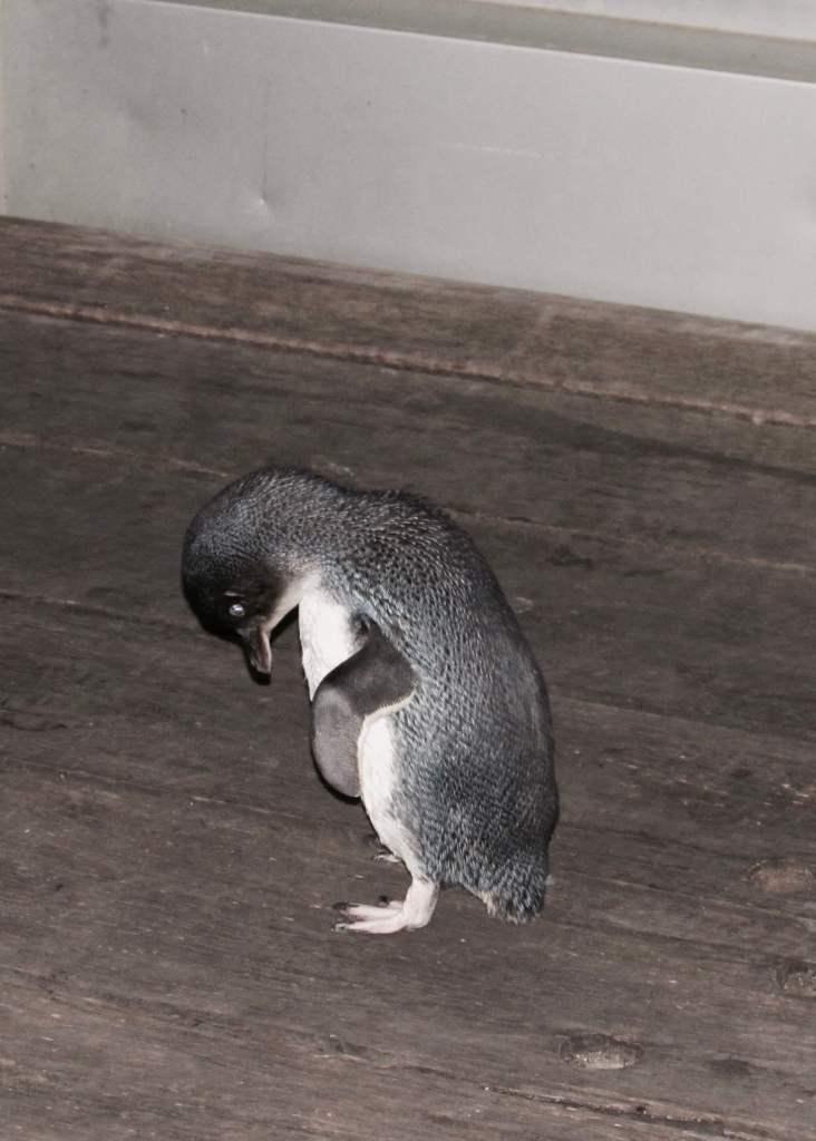 Penguin on St Kilda boardwalk