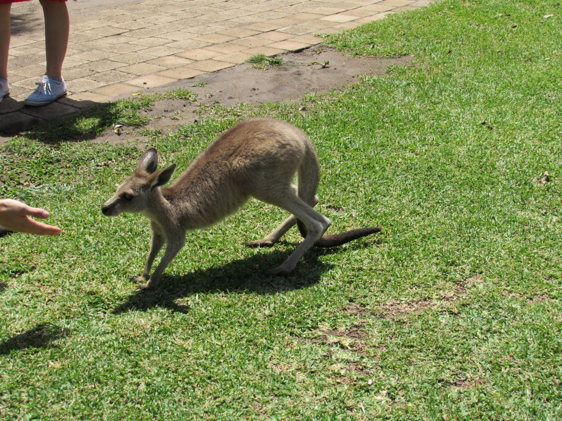 Baby Kangaroo at Currumbin Wildlife Sanctuary